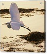 Heron Fly-by Acrylic Print