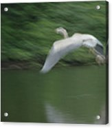Heron Glide Acrylic Print