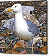 Heron Gull Acrylic Print