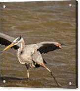 Heron - Hokey Pokey Acrylic Print