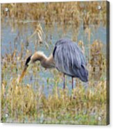 Heron Hunting In Shallows Acrylic Print