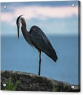 Heron In Colchester Acrylic Print