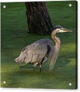 Heron In Dark Pond Acrylic Print