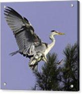 Heron In Fern Tree Acrylic Print