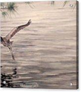 Heron In Flight Acrylic Print