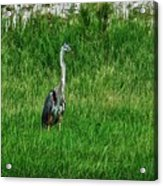 Heron In The Grasses Acrylic Print