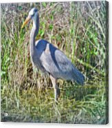 Heron In The Wetlands Acrylic Print