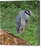 Heron On Log Acrylic Print