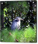 Heron On Pinetree Acrylic Print