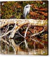 Heron Perch Acrylic Print