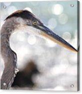 Heron Searching Acrylic Print