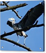 Heron Spreads Wings Acrylic Print