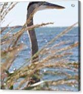 Heron Through The Grass Acrylic Print