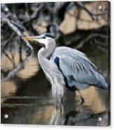 Heron Wading Acrylic Print