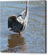 Heron With Gator Acrylic Print
