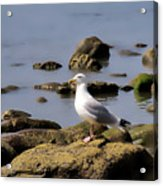 Herring Gull At Charmouth Acrylic Print