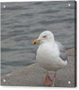 Herring Gull In Copenhagen Acrylic Print