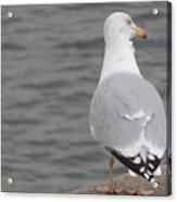 Herring Gull Observing Acrylic Print