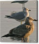 Herring Gull  Acrylic Print