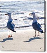 Herring Gulls On The Beach Acrylic Print