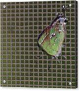 Hessel's Hairstreak Butterfly Acrylic Print