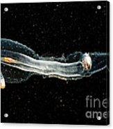 Heteropod Mollusk Acrylic Print