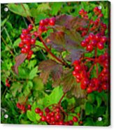 Hi Bush Cranberry Close Up Acrylic Print