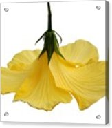 Hibiscus 1 Acrylic Print