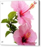 Hibiscus 7 V3 Acrylic Print