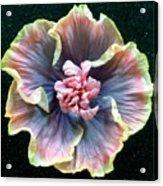 Hibiscus 9 Acrylic Print