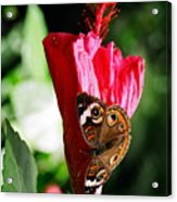 Hibiscus Aflutter Acrylic Print