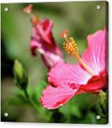 Hibiscus Bloom Acrylic Print