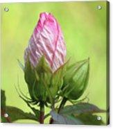 Hibiscus Bud Beauty Acrylic Print