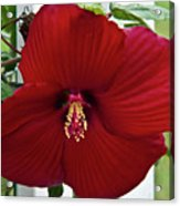 Hibiscus By Picket Fence Acrylic Print