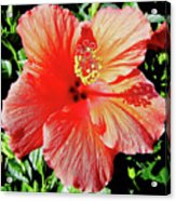 Hibiscus - Dew Covered - Beauty Acrylic Print