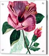 Hibiscus Dusky Rose Acrylic Print