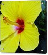 Hibiscus Flower 1 Acrylic Print