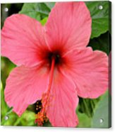 Hibiscus Front Acrylic Print