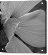 Hibiscus In Detail Acrylic Print