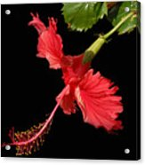 Hibiscus On Black Background Acrylic Print