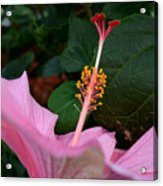 Hibiscus Pink Flower Acrylic Print