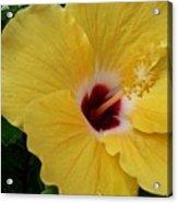 Hibiscus Yellow Acrylic Print