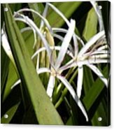 Hidden Swamp Lily Acrylic Print
