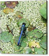Hiding Dragonfly Acrylic Print