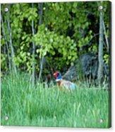 Hiding In The Grass. Pheasant Acrylic Print
