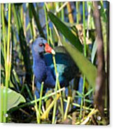 Hiding In The Wetlands Acrylic Print