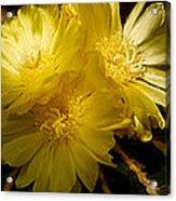 High Angle View Of Cactus Flowers Acrylic Print
