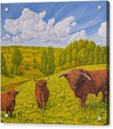 Highland Cattle Pasture Acrylic Print