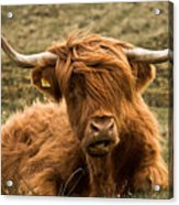 Highland Cow Color Acrylic Print by Justin Albrecht