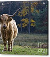 Highland Cow In France Acrylic Print